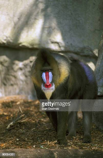 mandrill papio sphinx alpha male zoo animal