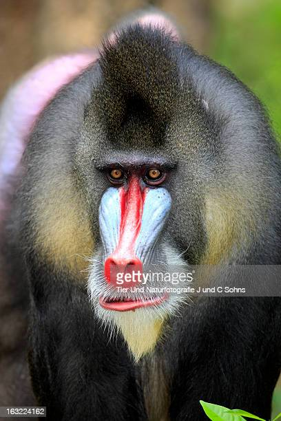 mandrill - ugly monkey stock photos and pictures