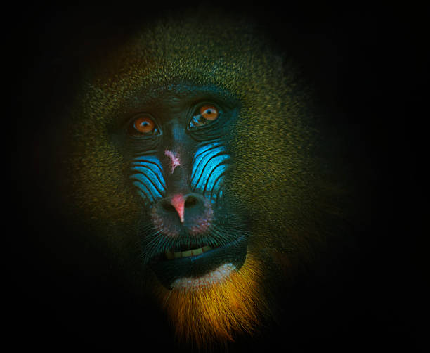 Mandrill Wall Art