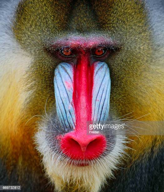 mandrill - baboon stock pictures, royalty-free photos & images