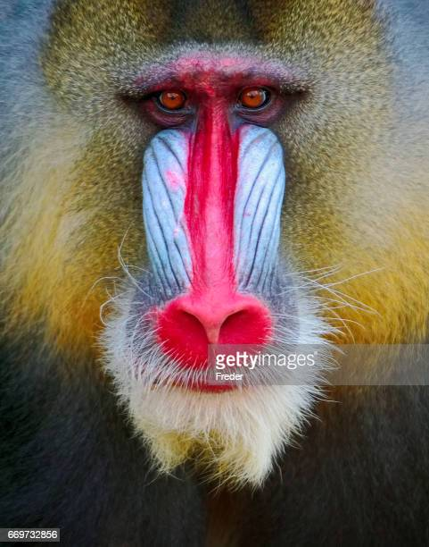 mandrill - baboon stock photos and pictures