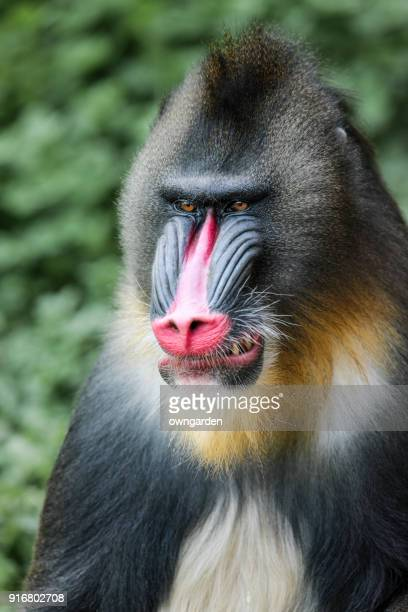 mandrill - zoology stock pictures, royalty-free photos & images