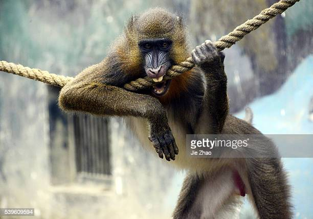 A mandrill plays at a zoo in Chengdu Sichuan province Southwest China on 17th May 2015