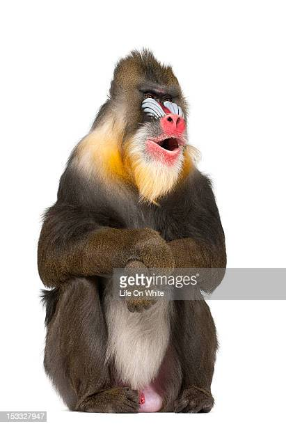 Mandrill sitting and smiling
