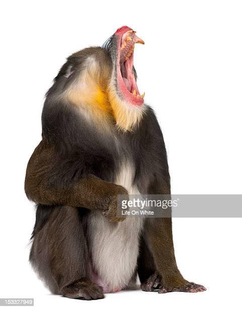 Mandrill sitting and yawning yawning