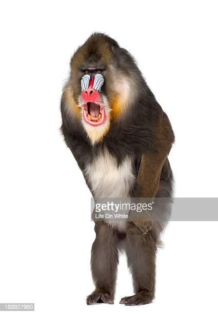mandrill standing and shouting - baboon stock pictures, royalty-free photos & images