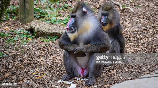 Mandrills Sitting On Field In Forest
