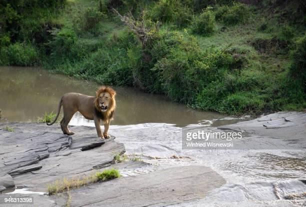 mane lions - afrika afrika stock pictures, royalty-free photos & images