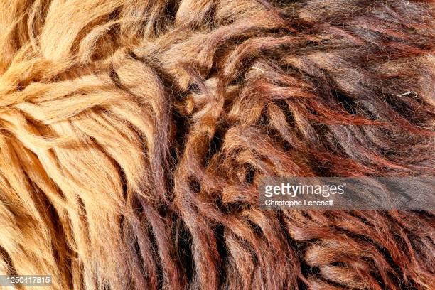 mane of a lion - mammifero foto e immagini stock