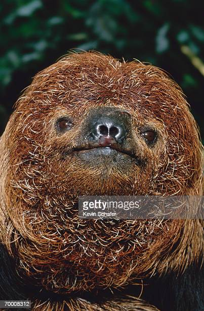 Maned sloth (Bradypus torquatus) Bahia State, Brazil, head-shot