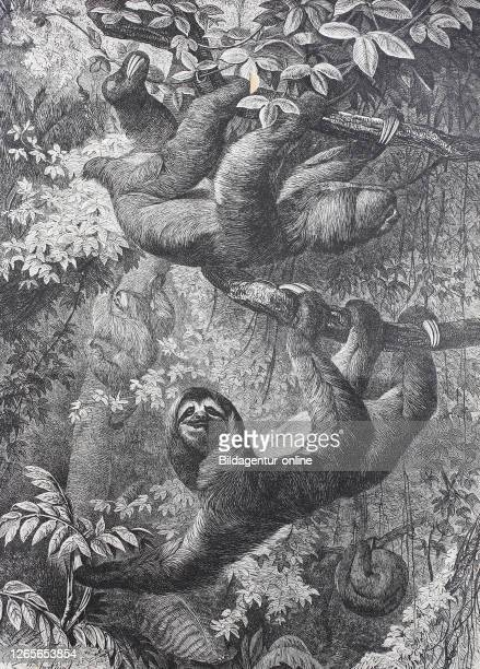 Maned sloth, Bradypus torquatus, also known as the Ai / Faultier, Historisch, digital improved reproduction of an original from the 19th century /...