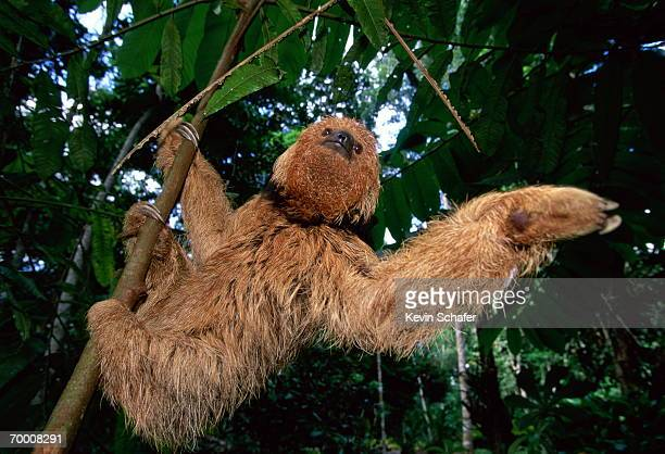 Maned sloth (Bradypus torquatus) climbing tree, Brazil, close-up