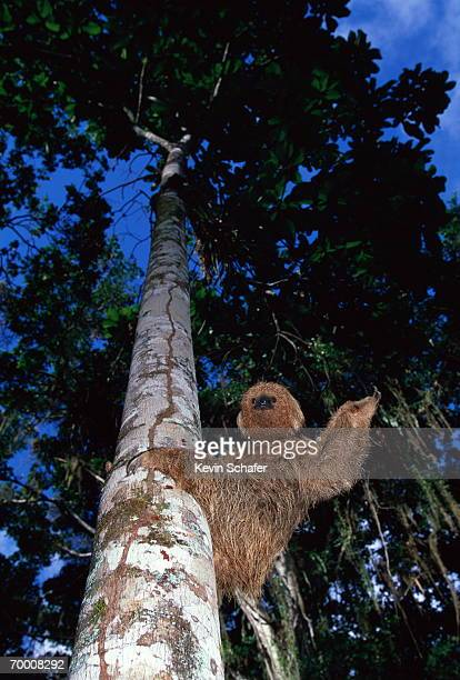 Maned sloth (Bradypus torquatus) climbing tree, Brazil, low angle