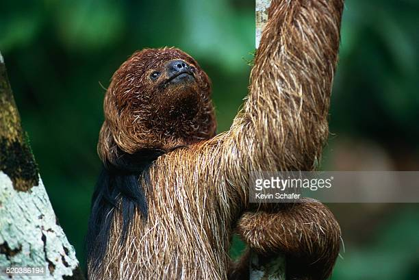 Maned Sloth