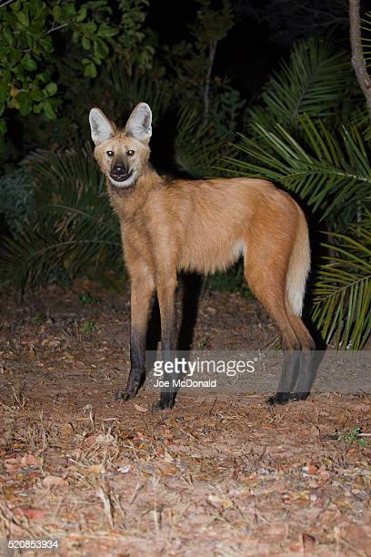 Maned Wolf Captured by IR Camera Trap on a Trail in the Pantanal