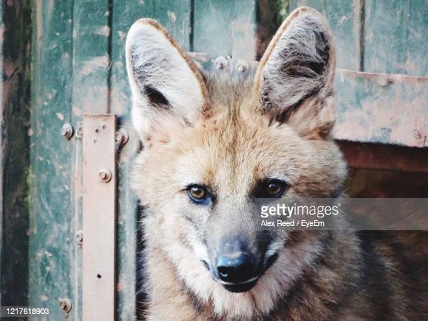 maned wolf face. - alex reed stock pictures, royalty-free photos & images
