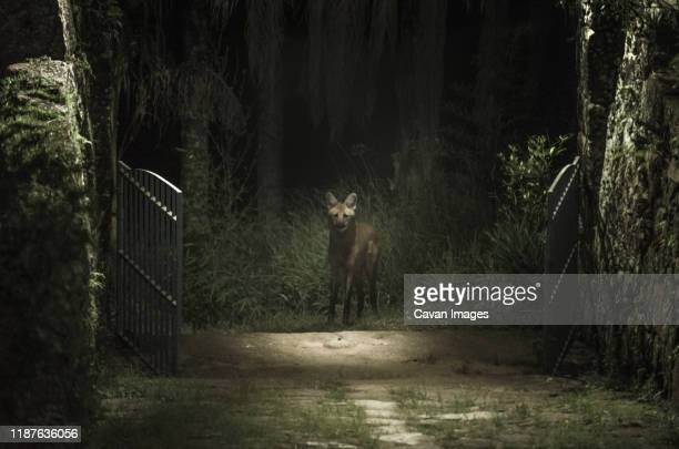 maned wolf in the forest looking inside the cottage gates - hairy bush stock pictures, royalty-free photos & images