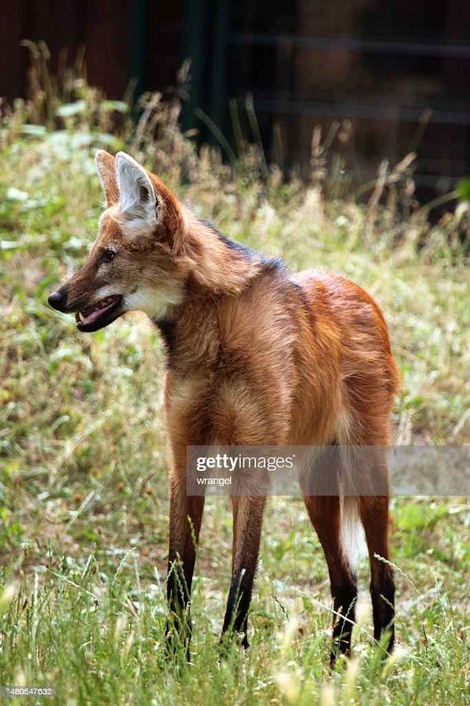 Maned wolf (Chrysocyon brachyurus). : Stock Photo