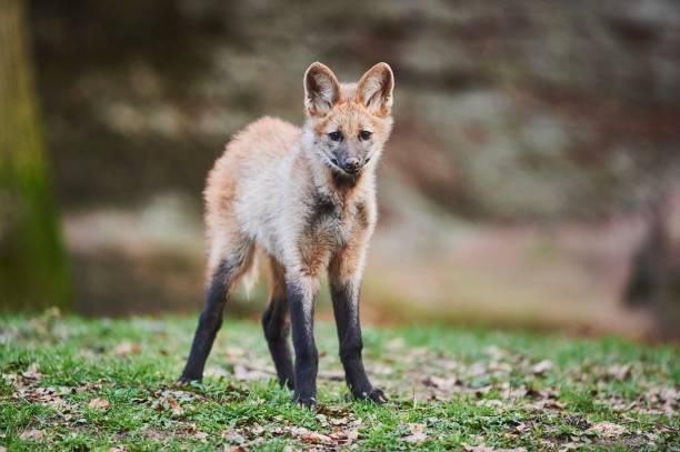 Maned Wolf, young animal, captive, Bavaria, Germany