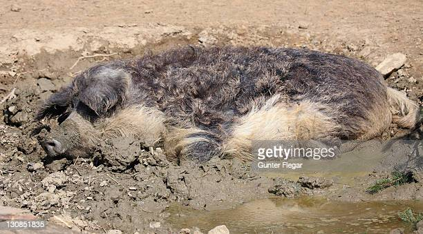 mangalitza pig wallows in the mud (cochon domestique) - pig in shit stock pictures, royalty-free photos & images