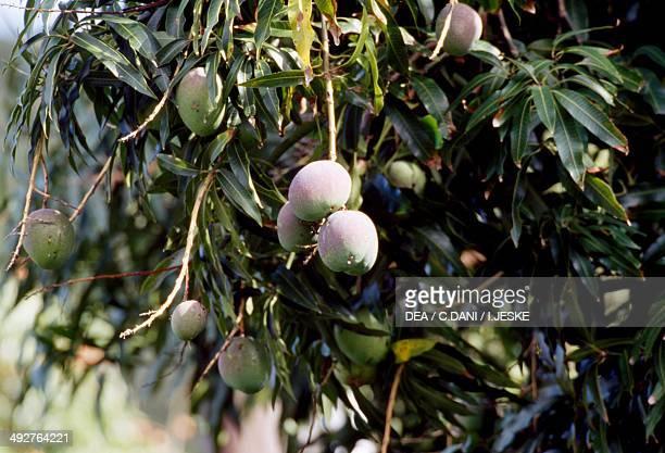 Mango Anacardiaceae