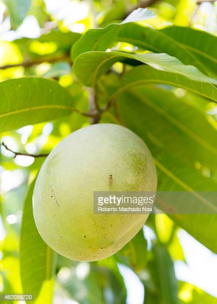 Mango fruit hanging on a tree in tropical country