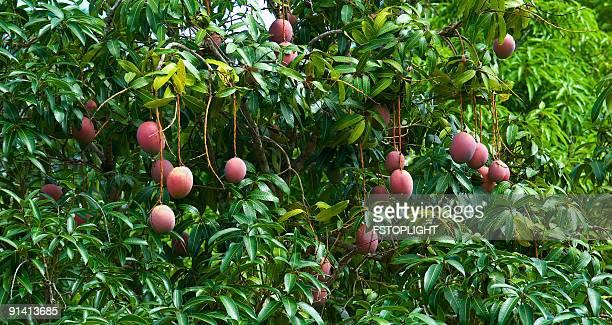 Frutto di Mango con albero
