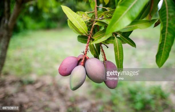 Mango fruits hang on a tree on a mango farm on May 19 2017 in Ithanka Kenya