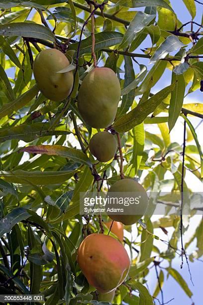 Mango fruits on tree, close up