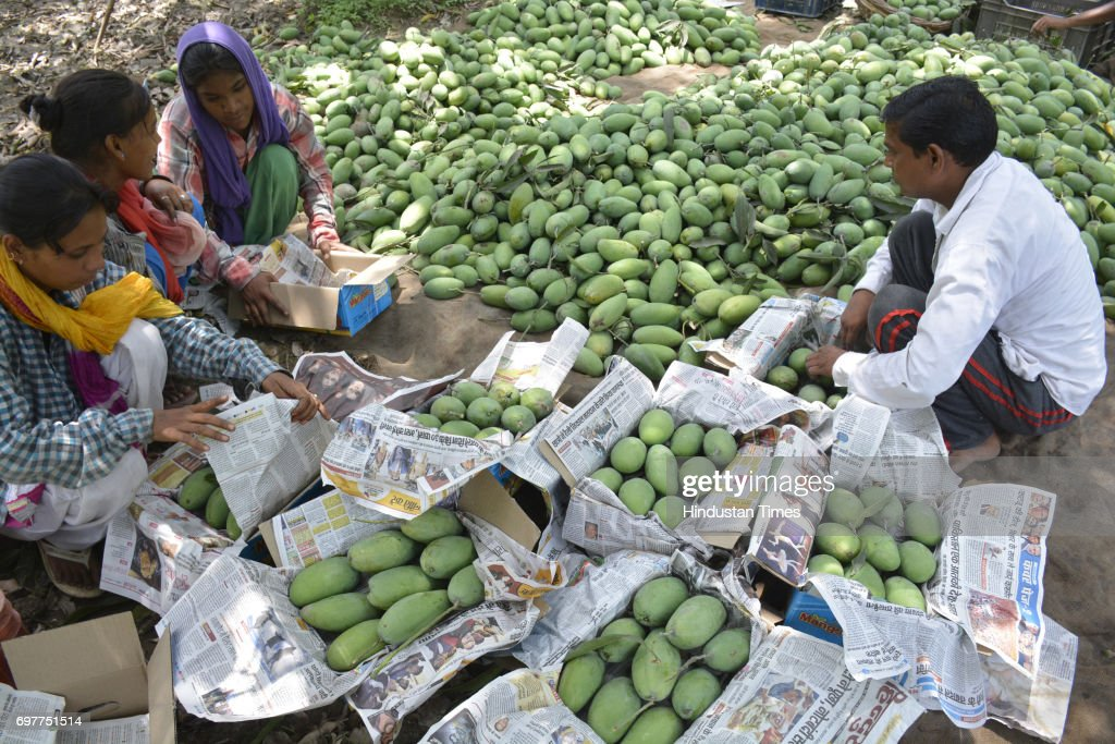 Mango growers packing their harvest into the cartons on June 18, 2016 in Ghaziabad, India. The Mango growers are cashing on to the summer season with bumper crop of mangoes like Dussheri, Langra and others. The western UP region around Ghaziabad has several mango belts at Dhaulri, Hasanpur, Amroha, Syana Bulandshahr, Saharanpur and Patla Niwari. The mango growers get ready early morning to pluck ripe mangoes and safely pack them into cartons for further supplies to cities.