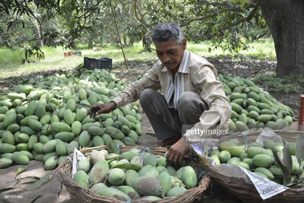 Mango growers separating mangoes according to quality before packing their harvest into the cartons on June 18, 2016 in Ghaziabad, India. The Mango growers are cashing on to the summer season with bumper crop of mangoes like Dussheri, Langra and others. The western UP region around Ghaziabad has several mango belts at Dhaulri, Hasanpur, Amroha, Syana Bulandshahr, Saharanpur and Patla Niwari. The mango growers get ready early morning to pluck ripe mangoes and safely pack them into cartons for further supplies to cities.