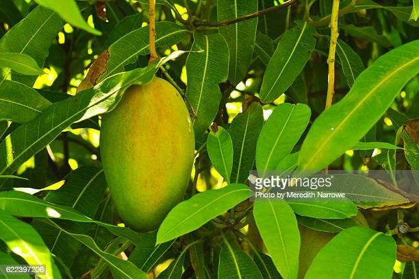 Mango Hanging in Tree