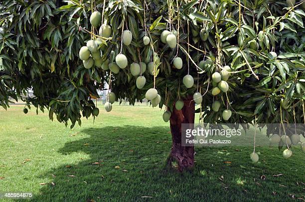 Mango tree Brasilia Brazil