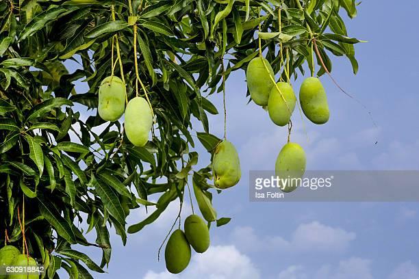 Mango tree with ripe fruits on January 02 2016 in Tejakula Bali Indonesia