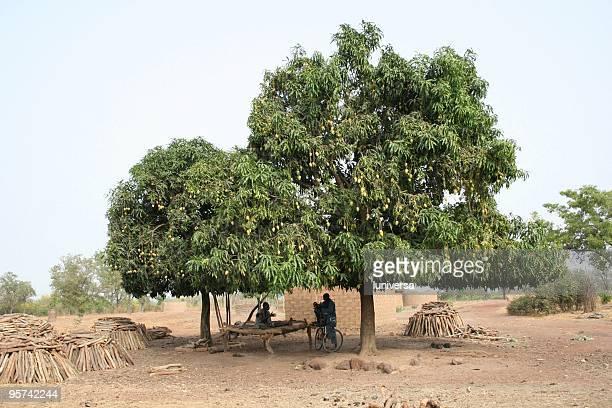 Alberi di Mango di Sikasso