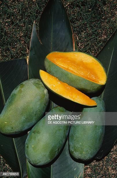 Mangoes Anacardiaceae