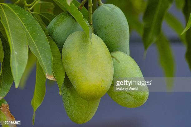 Mangoes are a popular summer fruit in Bangladesh June 3 2007