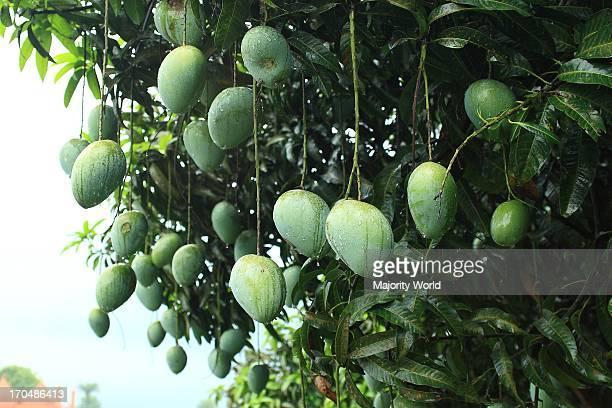 Mangoes are a popular summer fruit in Bangladesh Rajshahi July 16 2007