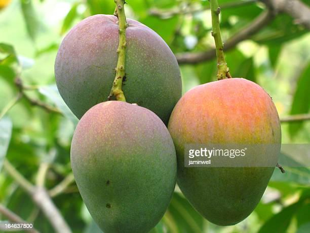 mangoes a albero