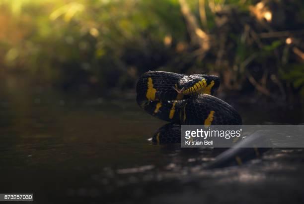 Mangrove cat snake (Boiga dendrophila) in rainforest stream - Thailand