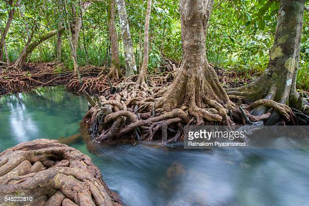 mangrove forest and clear natural pool - mangrove tree stock pictures, royalty-free photos & images