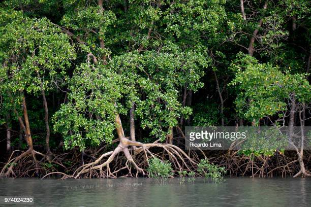 mangrove forest near romana island, amazon region, brazil - mangrove tree stock pictures, royalty-free photos & images