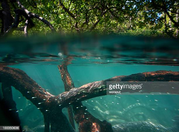 mangrove forest - mangrove tree stock pictures, royalty-free photos & images