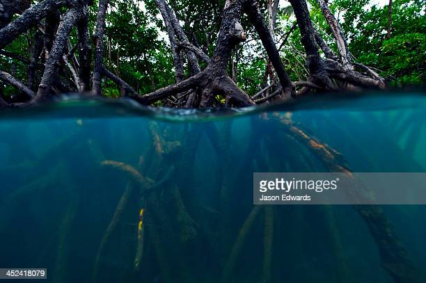 Mangrove forest tree roots submerge below the surface at high tide.