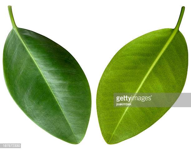 mangrove green leaves isolated on white with clipping path - mangrove tree stock pictures, royalty-free photos & images
