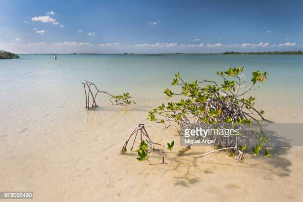 mangrove in sian kaan, sian kaan, tulum, quintana roo, mexico - sian ka'an biosphere reserve stock photos and pictures