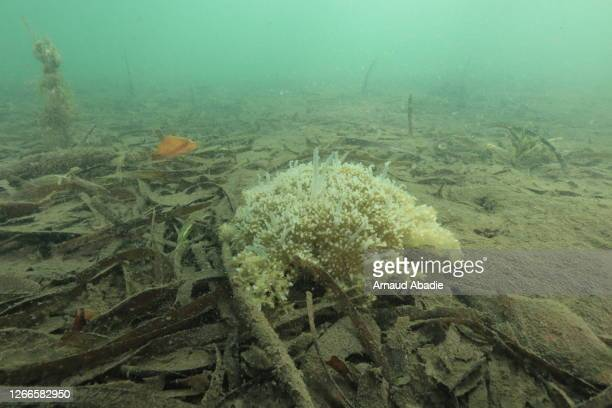 mangrove jellyfish - upside down jellyfish stock pictures, royalty-free photos & images