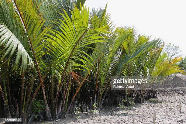 mangrove palm - khulna stock photos and pictures