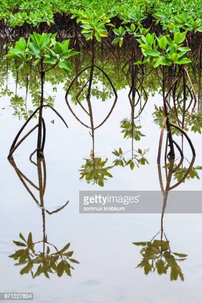 mangrove plant - mangrove tree stock pictures, royalty-free photos & images
