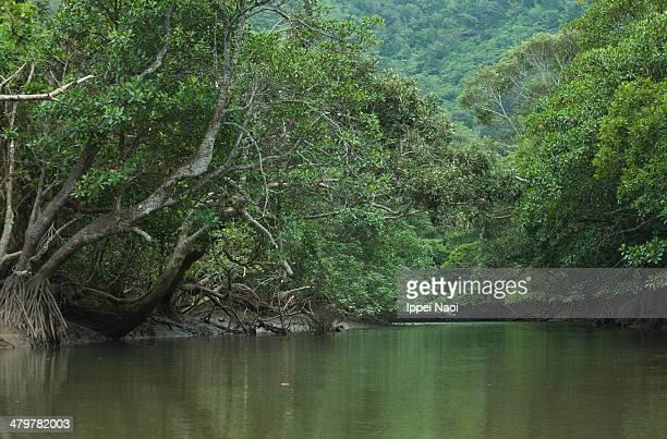 Mangrove river in lush green jungle, Iriomote